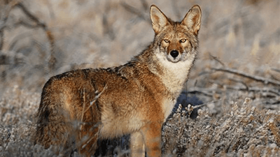 Coyote Hunters in PA  Get Close to 50K in Prize Money
