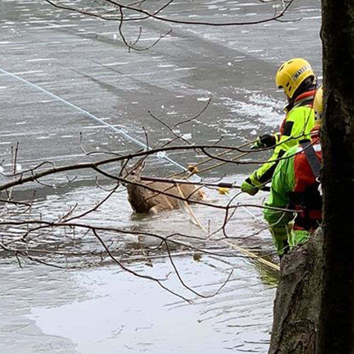 Deer Rescued from Frozen Owl Creek Reservoir