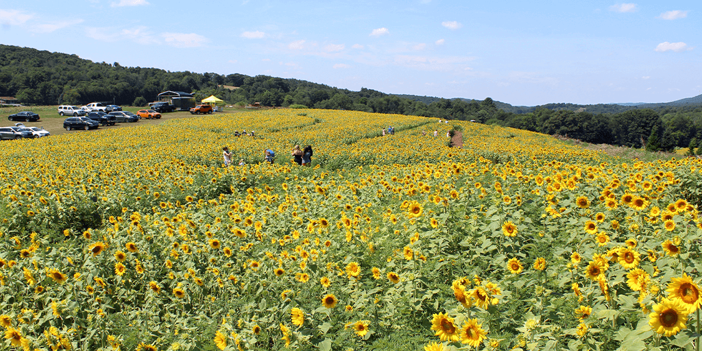 second mountain sunflowers orwigsburg 50 acres 2